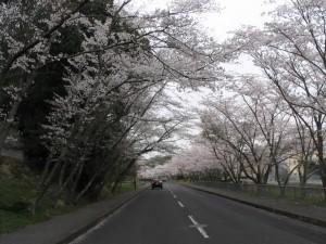 2014桜見鉢が峯